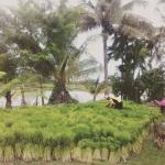 Rice farming in Thailand